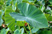 A close view of a big taro leaf — Stock Photo