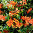 Orange flowers (Asoka, Saraca Asoca ) - Stock Photo