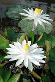 Two white lotus in a pond — Stock Photo