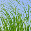 Reeds in summer - Stock Photo