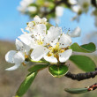 Pear tree flowers — Stock Photo