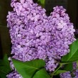 Lilac on black background — Stock Photo