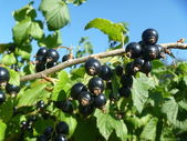 Branch of the black currant — Stock Photo