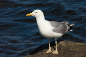 White sea gull resting on stone — Stock Photo