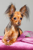 Russian long-haired toy terrier on pink pillow — Stock Photo