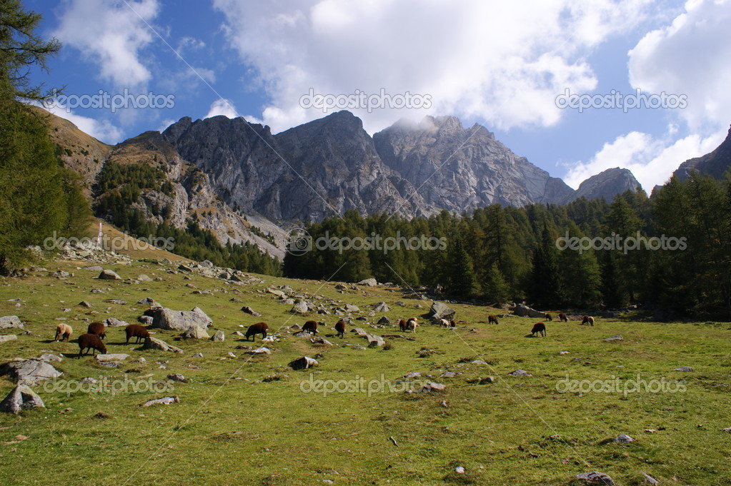 Sheep on a mountain meadow before a mountain scenery; the Ifinger is a mountain in the Sarntal Alps in South Tyrol in Italy — Stok fotoğraf #11822598