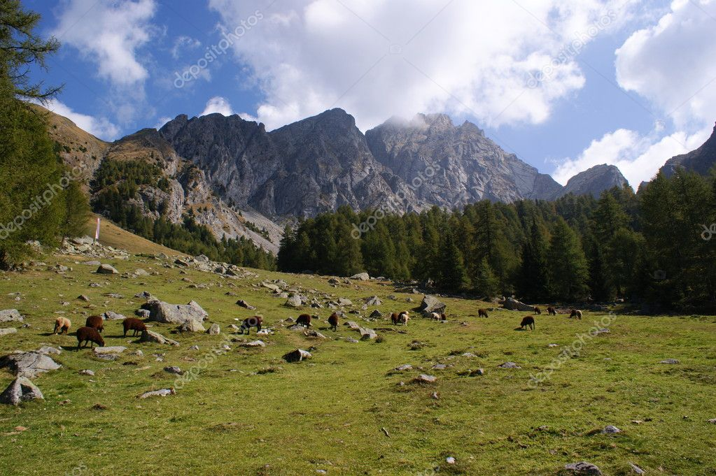 Sheep on a mountain meadow before a mountain scenery; the Ifinger is a mountain in the Sarntal Alps in South Tyrol in Italy  Foto Stock #11822598