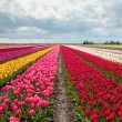 Pink, red and orange tulip field — Stock Photo #10759409