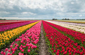 Pink, red and orange tulip field — Stock Photo