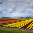 Royalty-Free Stock Photo: Colorful field with tulips