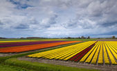 Colorful field with tulips — Stock Photo