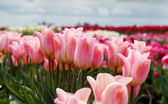 Pink tulips of field — Stock Photo