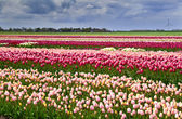 Barevné tulipány na hřišti — Stock fotografie