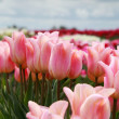 Постер, плакат: Pink tulips of field