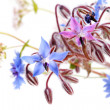 Foto Stock: Wild blue flowers on white