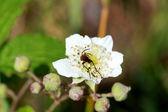 Rubus fruticosus flower — Stock Photo
