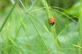 てんとう虫 — ストック写真