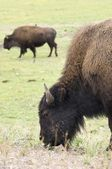 Bison on Yellowstone — Stock Photo