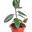 Ficus in pot — Stock Photo
