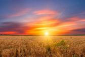 Summer wheat field — Stock Photo