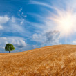 Wheat field with a tree - Stock Photo