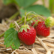 Closeup bush of strawberries - Stock Photo