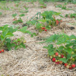 Bushes of fresh organic strawberries — Stok fotoğraf
