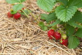 Closeup bush erdbeeren 2 — Stockfoto
