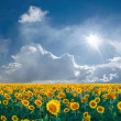 Landscape with big sunflowers field — Stok fotoğraf