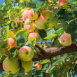 Red and yellow apples on a branch — Stock Photo