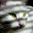 White angora cat with green eyes — Stock Photo