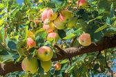 Rote und gelbe Äpfel auf einem Zweig — Stockfoto