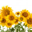Stock Photo: Sunflower bushes