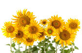 Sunflower bushes — Stock Photo