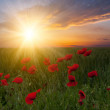 Poppy flowers on sunset - Stock Photo