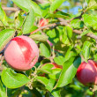 Stockfoto: Red apples on branch in garden