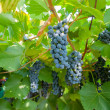 Stockfoto: Ripe blue grapes on branch