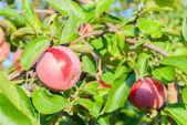 Mele rosse su un ramo in un giardino — Foto Stock