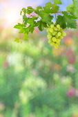 Colorful background with green grapes — Foto de Stock