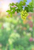 Fundo colorido com uvas verdes — Foto Stock