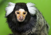 Monkey Marmoset — Stock Photo