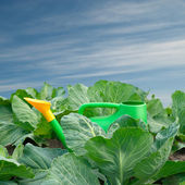 Cabbage and watering the garden — Stock Photo