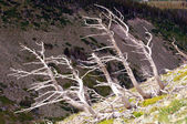 Bleached tree trunks on a mountain slope — Stock Photo