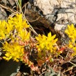 Wildflowers in Alpine Tundra — Stock Photo