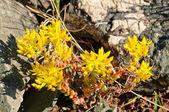 Flores silvestres en la tundra alpina — Foto de Stock