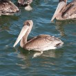Pelican on the California Coast — Stock Photo