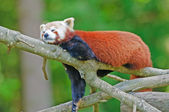 Red panda on a tree — Stock Photo