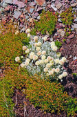 Tundra Plants on a scree slope — Stock Photo