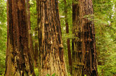 Fire scarred trees in California — Stock Photo