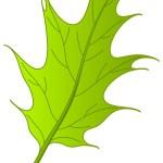 Leaf of oak Iberian, vector — Stock Photo #11666182